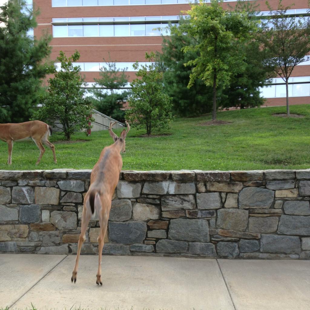 Deer jumping