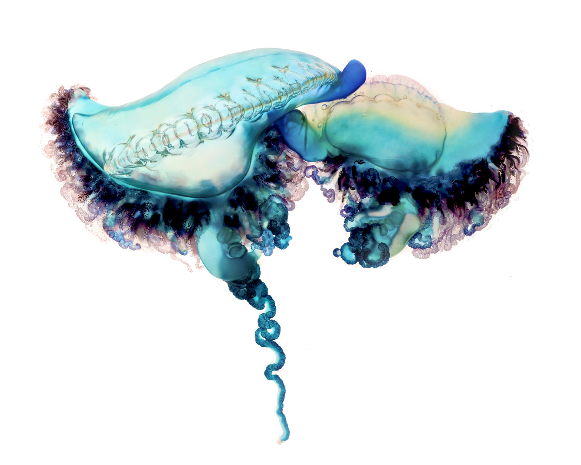 Photo by Aaron Ansarov - http://news.nationalgeographic.com/news/features/2014/08/140821-portuguese-man-of-war-animal-ocean-science-pictures/